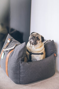 Cute view of a brown pug sitting inside of an adjustable bed for dogs in the room