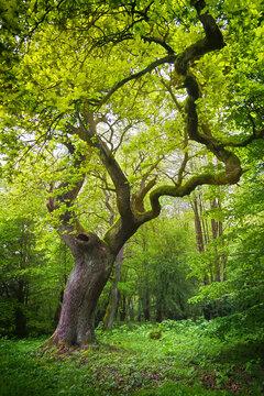 Alte Eiche im Wald auf einer Lichtung
