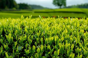 Chá verde no Japão.