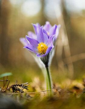 purple snowdrop first spring flower in the sun