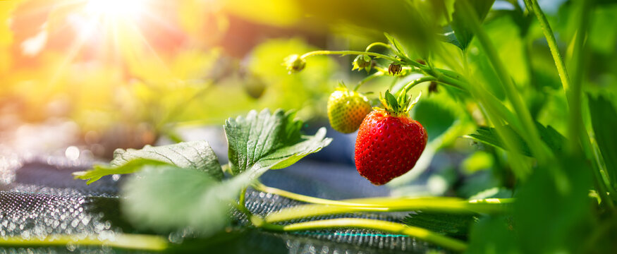 Juicy fresh strawberry growing in the soil at the garden
