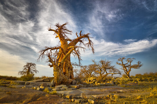 Landscape with Baobab trees (Adansonia digitata) in the Makgadikgadi salt pan, Botswana
