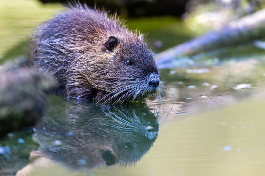 Coypu (Myocastor coypus) sitting at the lake shore in the nature protection area Moenchbruch near Frankfurt, Germany.