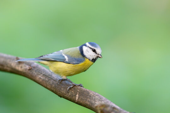 Blue Tit (Cyanistes caeruleus) in autumn.