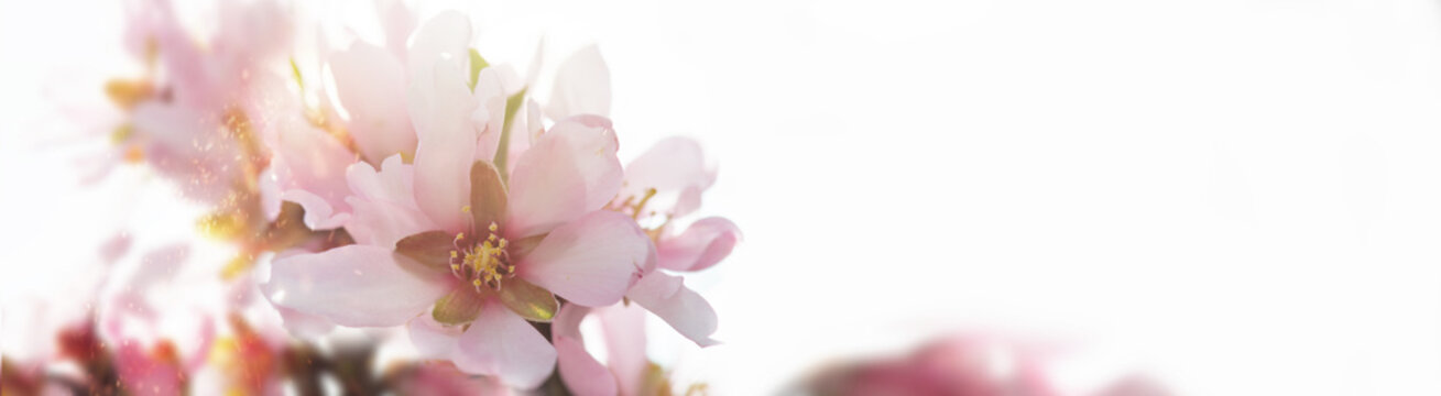 Abstract blurred and bokeh background almond tree blossom in springtime.