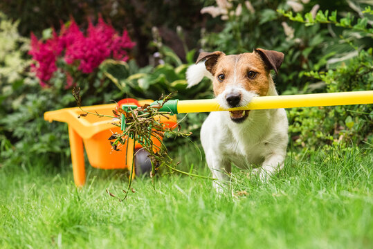 Garden spring clean up concept with dog cleaning from old plants backyard lawn with rake