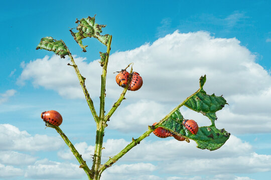 Colorado potato beetle eats potato leaves. Agricultural insects pests.