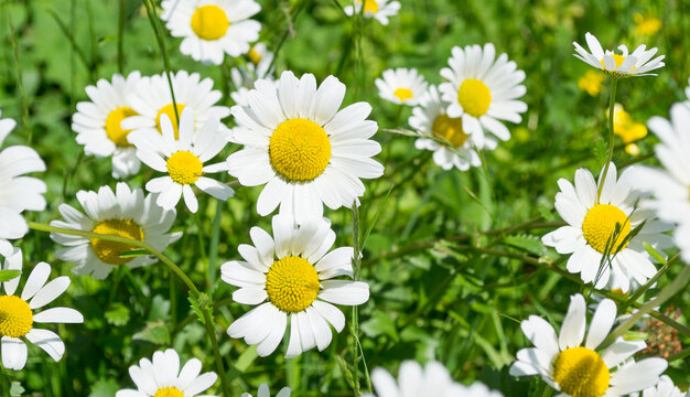 Chamomile on a green meadow.