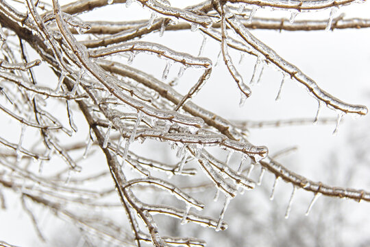 Branches covered in a layer of ice following a winter ice storm.