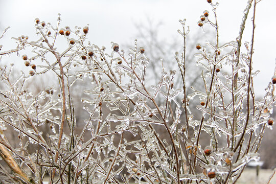 Branches and seed pods covered in a layer of ice following a winter ice storm.