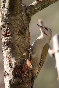A grey-headed woodpecker on a tree trunk
