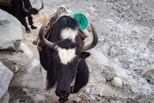 Yaks return from Everest Base Camp, Himalayas, Nepal