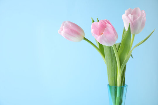 Beautiful pink spring tulips on light blue background. Space for text