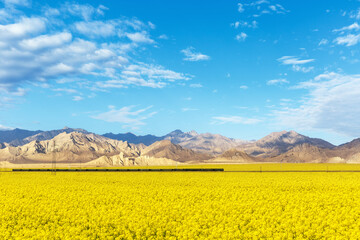 rapeseed flowers bloom on the plateau