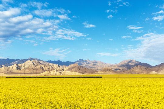 rapeseed flowers bloom on the plateau