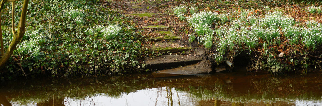 White flowers and old stairs. The flowers are snowdrops. Latin name: Galanthus