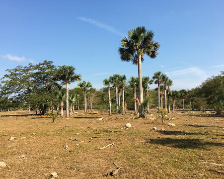 Landscape of the Cienaga de Zapata, in the Cuban province of Matanzas. Natural flooded area with palm trees and other trees.