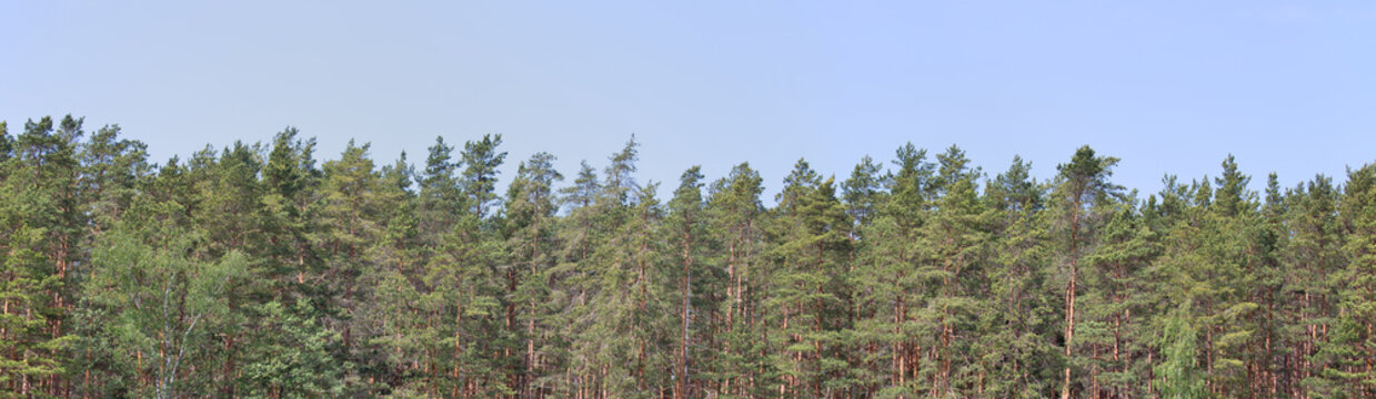 spring forest of high pines