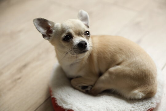 Closeup portrait of small funny beige mini chihuahua dog, puppy, isolated on wooden background, copy space