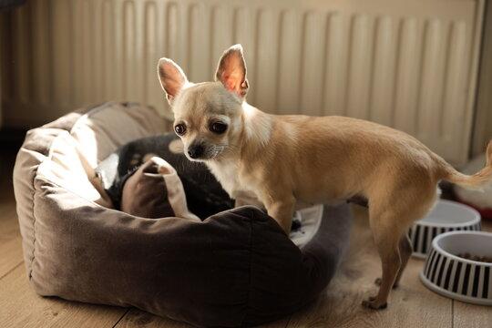 Closeup portrait of small funny beige mini chihuahua dog, puppy.