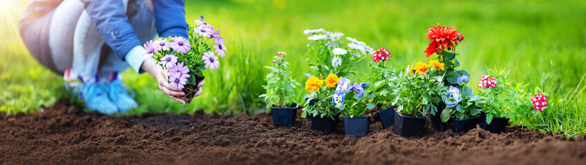 Obraz Woman hands putting seedling flowers into the black soil - fototapety do salonu