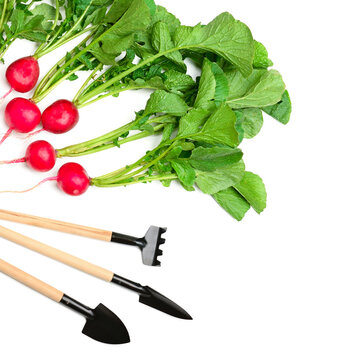 Radish and gardening Tools isolated on white . Free space for text.