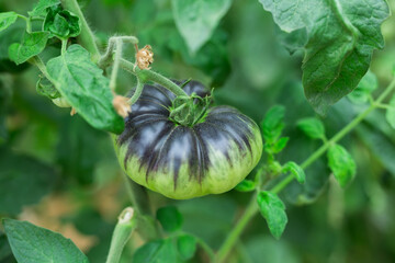 Closeup of purple organic tomatoes ripening on bushes in greenhouse. Cultivation of industrial vegetable varieties