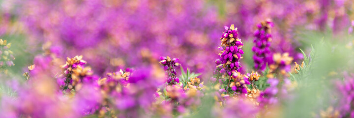 Fototapeta Panoramic of wild pink heather flowers in the moor in Brittany, France obraz