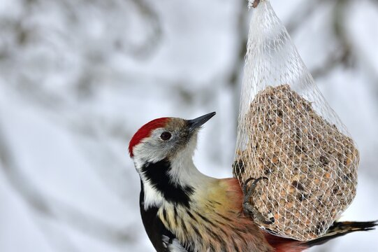 Detail on head with beak of middle woodpecker eating tallov ball in winter