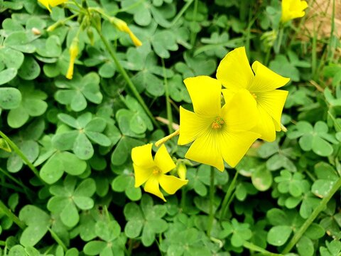 Scientific name Oxalis pes caprae. Known as Bermuda buttercup,Bermuda sorrel,buttercup oxalis,Cape sorrel,English weed,goats foot,sourgrass,soursobandsoursop. Atristylousflowering plant.
