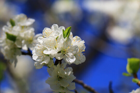 apple blossoms on fruit trees in spring