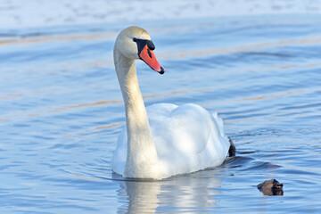 Fototapeta Swan.
