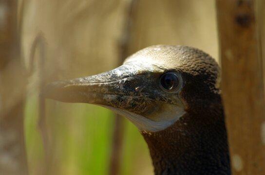 Blue-footed boobies in Poor Man`s Galapagos, Ecuador – Isla de la Plata