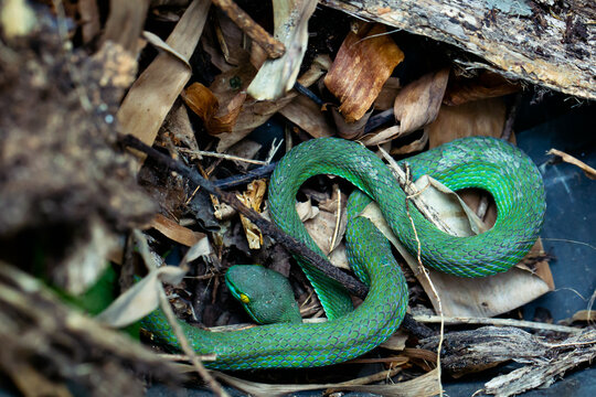 Beautiful large eyed viper sleeping. Close-up Large-eyed Green Pit Viper (Trimeresurus macrops) the endemic species of Southeast Asia and Thailand.