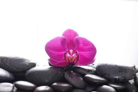 pink orchid, close up with pile of black stones