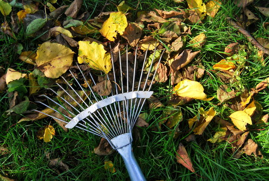 rake removes autumn leaves from the lawn