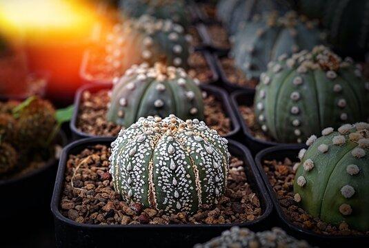 Cactus, Cactus thorns, Close up thorns of cactus, Cactus Background
