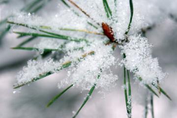 Pierzynka śnieżna na igłach roślin