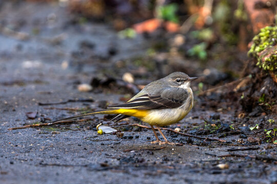 Grey Wagtail (Motacilla cinerea) which is a common insect eating bird with a yellow under belly and usually found by a stream or a river side, stock image photo