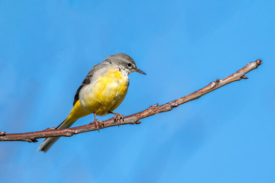 Grey Wagtail (Motacilla cinerea) perched on a  branch which is a common insect eating bird with a yellow under belly and usually found by a stream or a river side, stock image photo