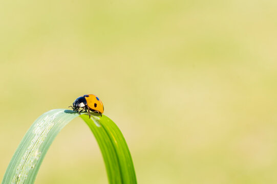 Ladybug, (coccinella septempunctata) a red beetle insect with seven spots resting on a grass reed  in summer and commonly known as a ladybird or lady beetle, macro close up photo