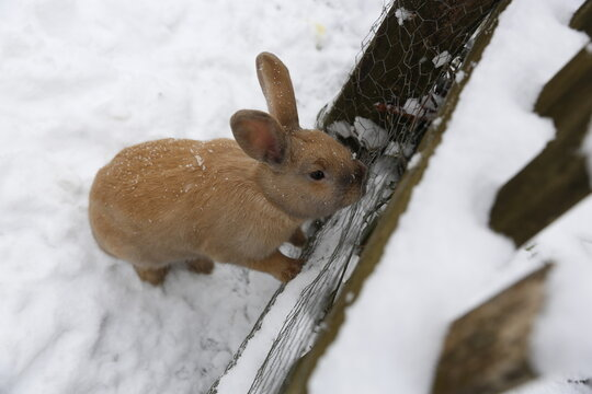 Kleiner Hase am Zaun bei Schnee - Ausbruch