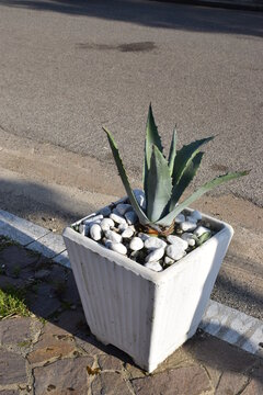 Century plant (Agave americana) in a white vase