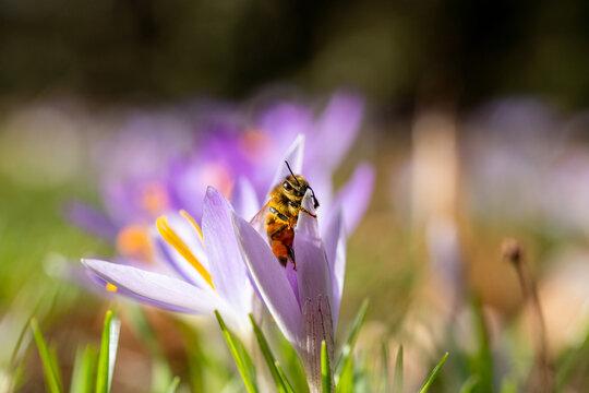 Biene in Krokussen