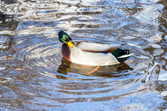 The male mallard duck swimming in a pond