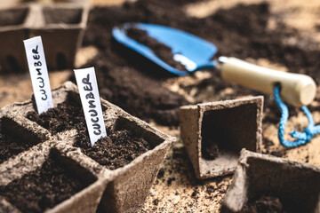 Fototapeta Planting seeds into peat pot on table. Sowing cucumber seed. Agricultural activity in spring. Plant nursery