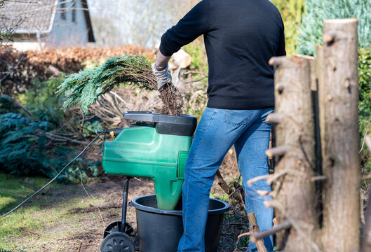 A worker is shredding branches of a Thuja hedge in a electric shredder.