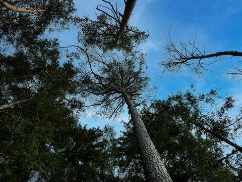 Bäume mit blauem Himmel aus der Wurmperspektive
