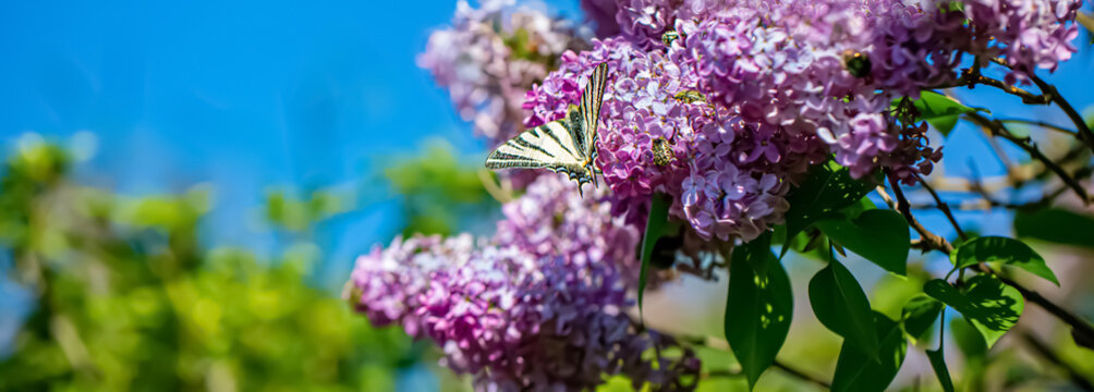 Purple lilac flowers on a sunny day in the park. Nature blurred green background of leaves. Butterfly on a blooming lilac.