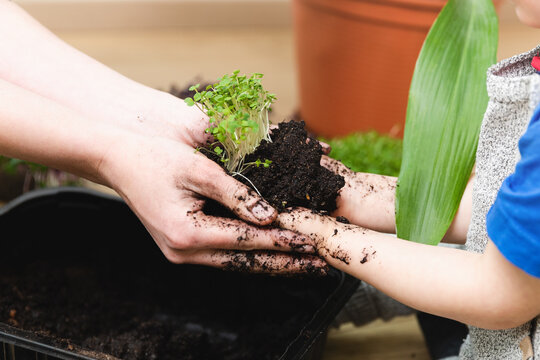 Mother teaching son botany - both holding hands filled with soil and sprouts. At home hobbies and gardening concept.